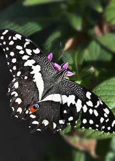 Black Swallowtail Greeting Card for Sale by Maureen Isree