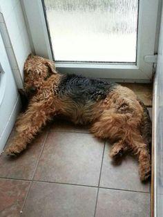 Airedale Sleep Position #344