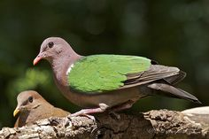 Emerald Dove - Chalcophaps indica Also commonly known as...