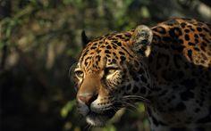 jaguar - Full HD Background 1920x1200
