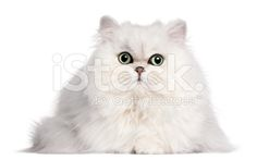 Persian cat, 2 years old, in front of white background - Stock image