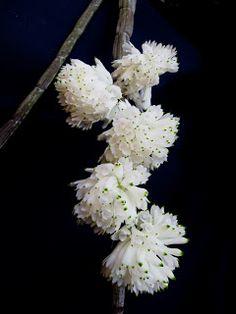 Dendrobium purpureum var. alba