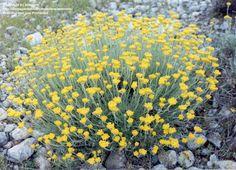 Full size picture of Curry Plant, Eternal Flower, Goldilocks, Shrubby Everlasting, Immortelle (Helichrysum stoechas)