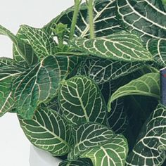 Mini Superba Fittonia- One of over 400+ varieties from Exotic Angel Plants®
