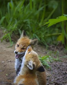 Red Fox Cubs by Shan W - National Geographic Your ShotShan W