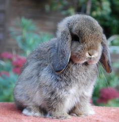 dwarf lop rabbits - I need to stop looking up pictures of bunnies. I AM CRYING