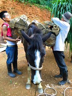 One of two horses that #TerraMica gifted to #coffee #farmer Ladislao and his #family in #Mexico, vastly increasing his productivity. #agriculture
