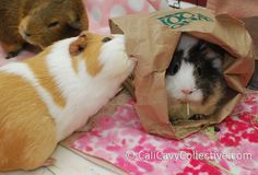 guinea pig toy ideas paper bag put food in it and let your piggy munch away Diy Guinea Pig Toys, Baby Guinea Pigs, Guinea Pig Care, Wombat, Guinea Pig Breeding, Cute Piggies, Pet Rabbit, Cute Animals, Small Animals