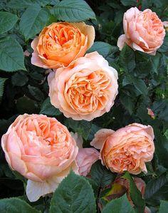 ~Rosa 'Carolyn Knight'