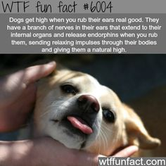 Dogs get high when you rub their ears - WTF fun facts