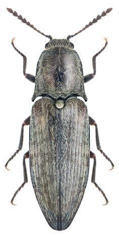 Actenicerus sjaelandicus