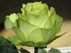 Resultado de imagem para розы разных цветов