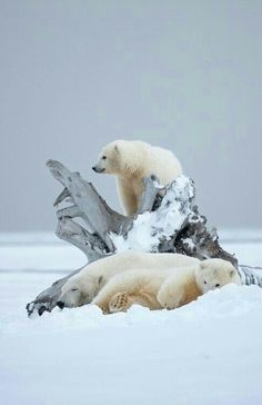 Winter Polar Bears!