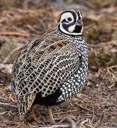 Exotic Birds, Colorful Birds, Beautiful Birds, Animals Beautiful, Farm Animals, Animals And Pets, Raising Quail, Quail Hunting, Game Birds