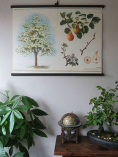 VINTAGE BOTANICAL SCHOOL PULL DOWN CHART OF A PEAR TREE PAPER ON CANVAS cz8   Antiques, Decorative Arts   eBay!