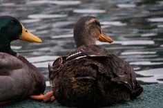 JSPuzzles - Play free Jigsaw puzzles online - Ducks