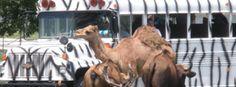 Reason #26 to Visit Columbus, GA...See lions and tigers and pigs, oh my! at the Wild Animal Safari Park.