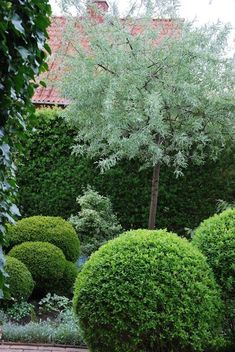 Pyrus salicifolia pendule-combo of rounded shrubs with tree-love the green contrasts Boxwood Garden, Garden Shrubs, Garden Trees, Garden Paths, Garden Landscaping, Back Gardens, Small Gardens, Formal Gardens, Outdoor Gardens