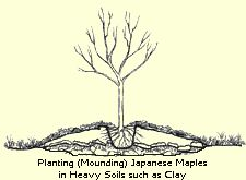 Planting Japanese Maple Trees in Hard Clay Soils// pacific coast maples