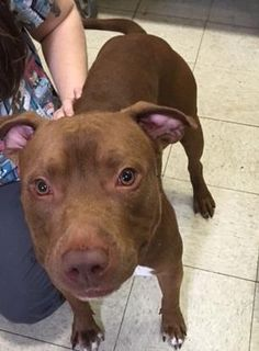 Petango.com – Meet Michigan R 4, a 3 years Terrier, American Pit Bull / Mix available for adoption in CLEVELAND, OH