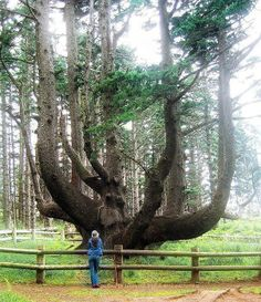 The Octopus Tree at Cape Meares, Oregon, USA. The Octopus Tree is a massive Sitka spruce with branches growing like giant tentacles from its 50-foot base which may be around 250 years old. It is situated approximately 600 feet from the scenic viewpoint. The tree's odd shape, according to local historians and Tillamook tribal descendants, comes not from the ravages of wind, as some have said, but from its function as a ceremonial site, shaped to hold cedar canoes and other ritual objects.