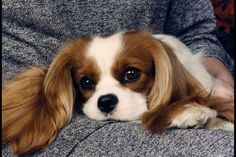 10 Things Only a Cavalier King Charles Spaniel Owner Will Understand | WOOFipedia by The American Kennel Club