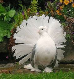 The Indian fantail doves are also known as homing doves. People usually keep these pigeons because they make the beauty of their home. Cute Birds, Pretty Birds, Beautiful Birds, White Pigeon, Dove Pigeon, Pigeon Pictures, Animal Pictures, Fantail Pigeon, Nature