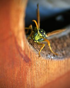 An angry wasp moved into my hot tub | (best viewed large) | Rich Legg | Flickr