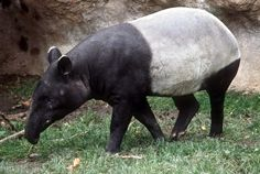 Malayan tapir side