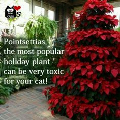 Poinsettas are toxic for your cat