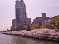 Cherry Blossom at Yodo River, Osaka