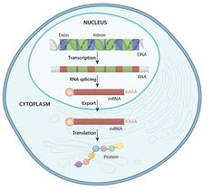 An overview of the flow of information from DNA to protein in a eukaryote (Nature Education)