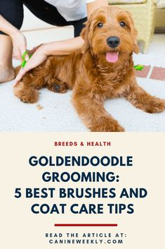 As a dog groomer of 12 years, I want to help give you Goldendoodle grooming tips and tool recommendations you need to keep your pup brushed out and looking and feeling their fluffy best. Goldendoodle Training, Goldendoodle Haircuts, Goldendoodle Grooming, Mini Goldendoodle Puppies, Dog Grooming Tips, Dog Grooming Supplies, Goldendoodles, Cockapoo, Goldendoodle Names
