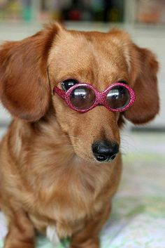 Dachshund in shades
