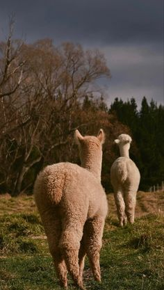 Iphone Wallpaper Preppy, I Wallpaper, Alpacas, New Zealand, Harry Potter, Cute Animals, Chocolate, Future, Nice