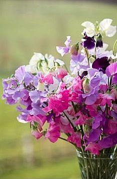 Brabourne Farm: Love .... (more) Sweet Peas