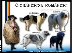 History Of Romania, Romanian Flag, Unusual Dog Breeds, Animals And Pets, Cute Animals, Sibiu Romania, Herding Dogs, Livestock, Girls Best Friend