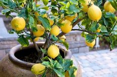 Container Gardening | How to grow lemon fruit trees in containers