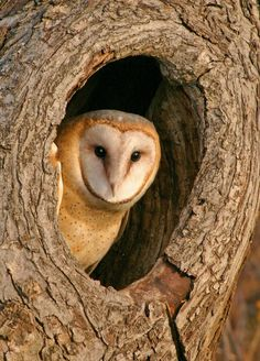 Barn owls are hungry—a family with 6 owlets eats about small mammals during a breeding season. Find out how examining the remains of an owl's diet by dissecting a safe, sterile owl pellet is an ideal lead-in to food chain and trophic pyramid studies. Barn Owl Pictures, Owl Photos, Owl Food, Owl Tree, Beautiful Owl, Wise Owl, Snowy Owl, Nocturne, Wild Birds
