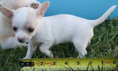 Cutest Chihuahua puppys!(teacup/applehead)