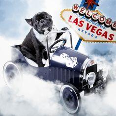 French Bulldog Las Vegas ❤❤❤
