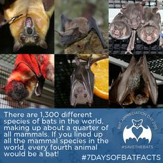 Conserving the world's bats and their ecosystems to ensure a healthy planet Creatures Of The Night, Cute Creatures, Bat Conservation International, All About Bats, Bat Facts, Biology Art, Fruit Bat, Cute Bat, Dog Fighting