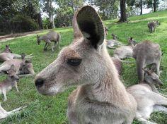Lone Pine Koala Sanctuary - play with kangaroos and koalas!
