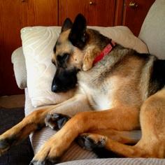 Sleepy German Shepherd. :)