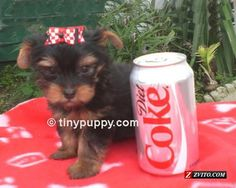 Micro Yorkshire Terrier Puppy Dog ...