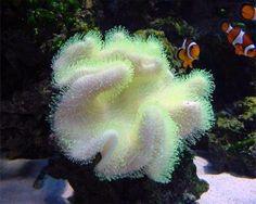 Yellow Fiji Leather Coral, (Sarcophyton elegans) Species Profile, Yellow Fiji Leather Coral, (Sarcophyton elegans) Care Instructions, Yellow Fiji Leather Coral, (Sarcophyton elegans) Feeding and more. :: Aquarium Domain.com