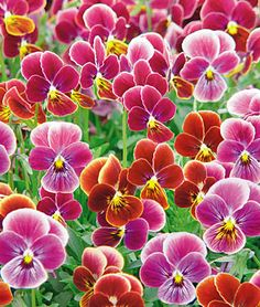 Viola, Psychedelic Spring from Burpee. This annual likes full or partial sun in flower beds or containers.