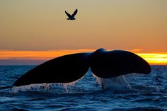 Sunset, Tail of Southern Right Whale, Peninsula Valdes, Argentina by Tomas Kotouc on 500px