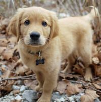 Apollo the Golden Retriever puppy - adorable!