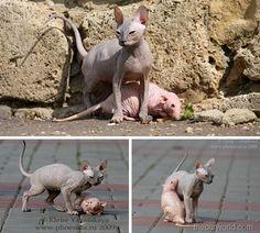 Hairless Cat & Hairless Rat #feline #rodent #friendship #animal #creature…